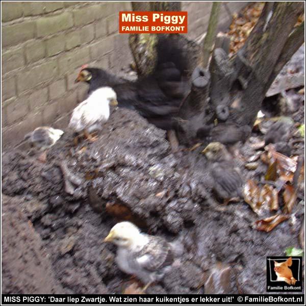 MISS PIGGY: 'Daar liep Zwartje. Wat zien haar kuikentjes er lekker uit!'