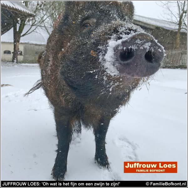 JUFFROUW LOES: 'Oh wat is het fijn om een zwijn te zijn!'