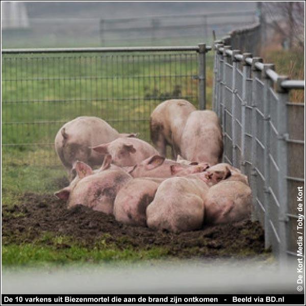 De BIGGEN van BETSY in het Bofkontbos; voor wie een hart heeft voor varkens...