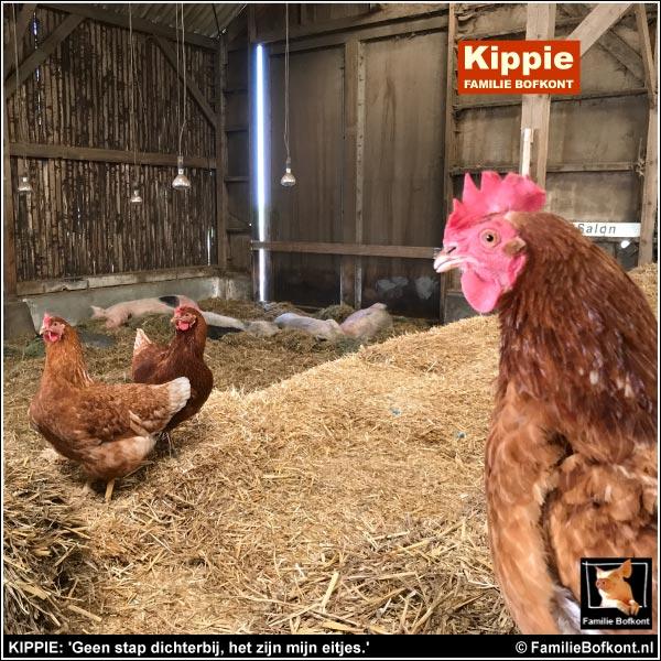 KIPPIE: 'Geen stap dichterbij, het zijn mijn eitjes.'