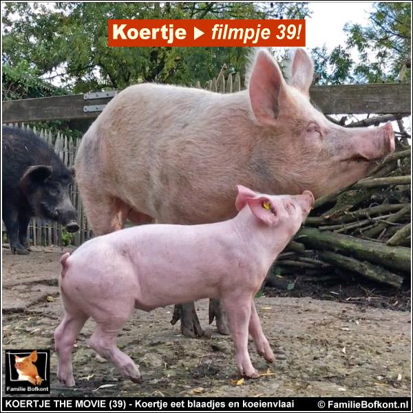 biggetje koertje geeft kopjes aan varken lange lijs