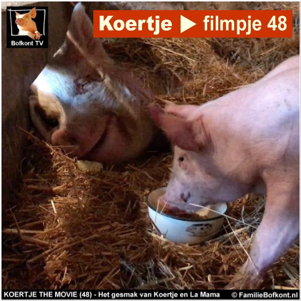 biggetje Koertje eet appels met ex-fokzeug La Mama