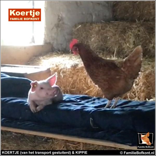 KOERTJE (van het transport gestuiterd) & KIPPIE